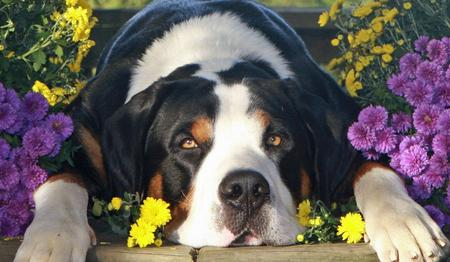 Flash the Greater Swiss Mountain Dog Pictures 464978