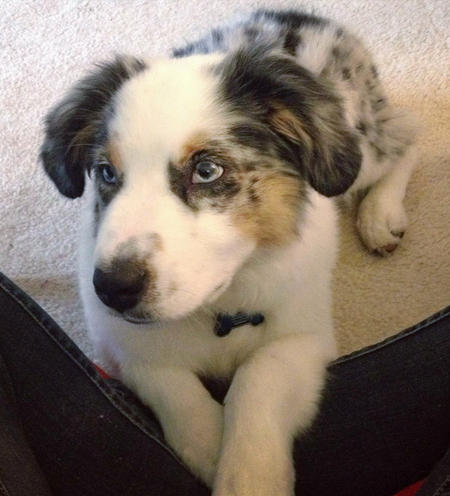 Foley the Australian Shepherd Pictures 1036836