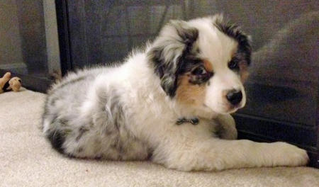 Foley the Australian Shepherd Pictures 1036840