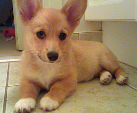 Foxxy the Pembroke Welsh Corgi Pictures 834293