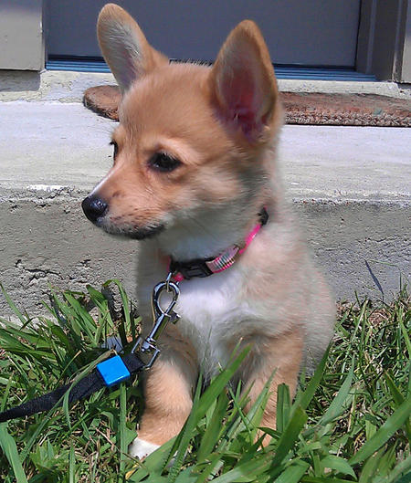 Foxxy the Pembroke Welsh Corgi Pictures 834295