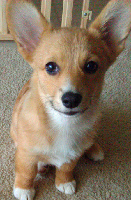 Foxxy the Pembroke Welsh Corgi Pictures 834298