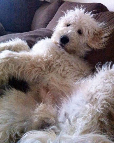 Fozzie the Goldendoodle Pictures 1003436