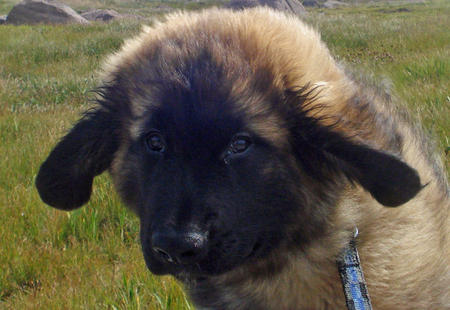 Fozzie the Leonberger Pictures 488295