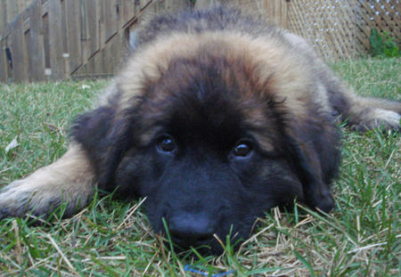 Fozzie the Leonberger Pictures 488296