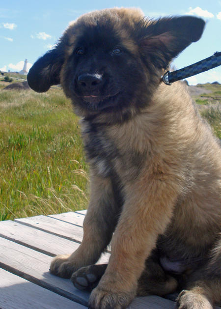 Fozzie the Leonberger Pictures 488297