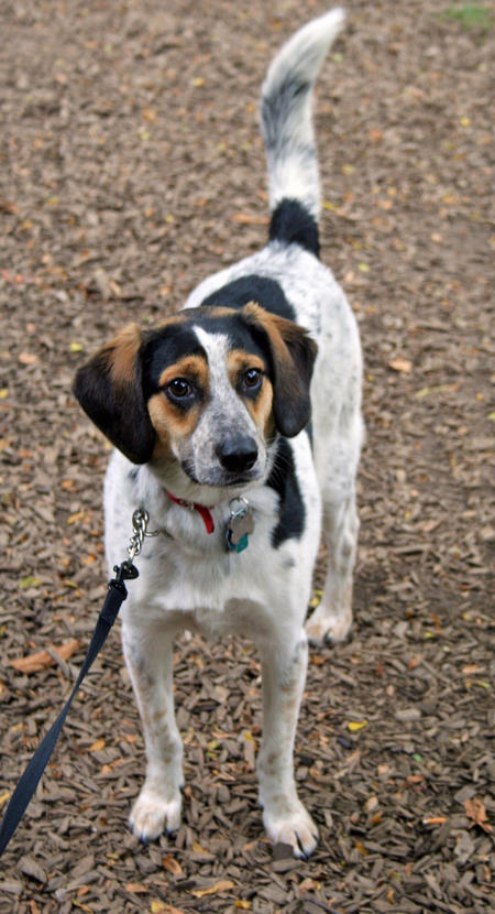 Frank the Beagle Mix Pictures 1051119