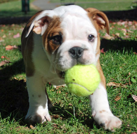 Frank the English Bulldog Pictures 683356