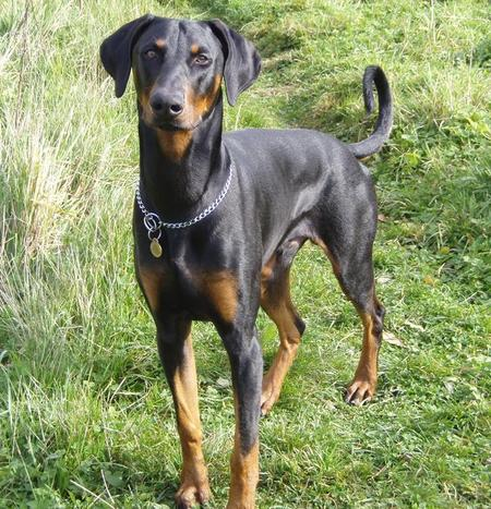 Frankie the Doberman P...