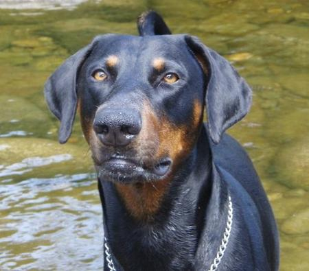 Frankie the Doberman Pinscher Pictures 702270