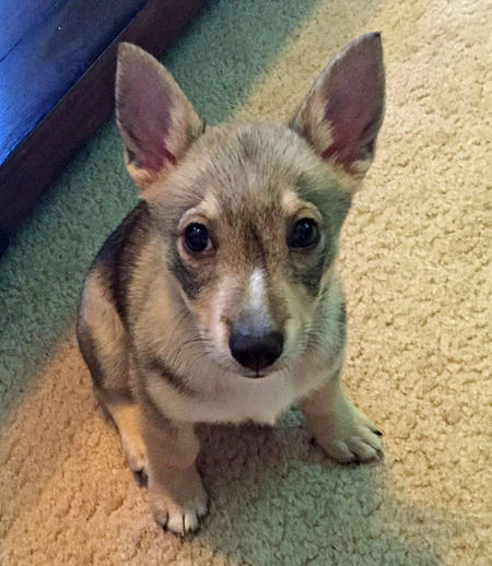 Freyja the Swedish Vallhund Pictures 1037794
