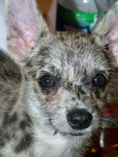 Frieda the Australian Cattle Dog Mix  Pictures 937943