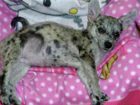 Frieda the Australian Cattle Dog Mix  Pictures 937944