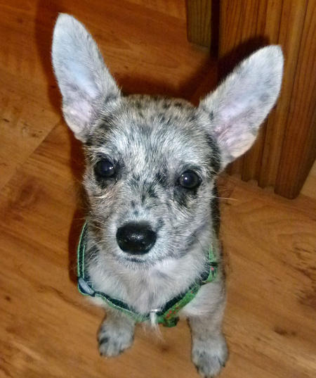 Frieda the Australian Cattle Dog Mix  Pictures 937942