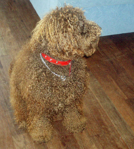 Fudge the Labradoodle Pictures 1038707