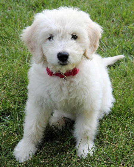 Gabby the Goldendoodle Pictures 977004