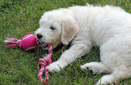Gabby the Goldendoodle Pictures 977005