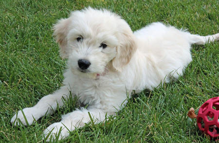 Gabby the Goldendoodle Pictures 977002