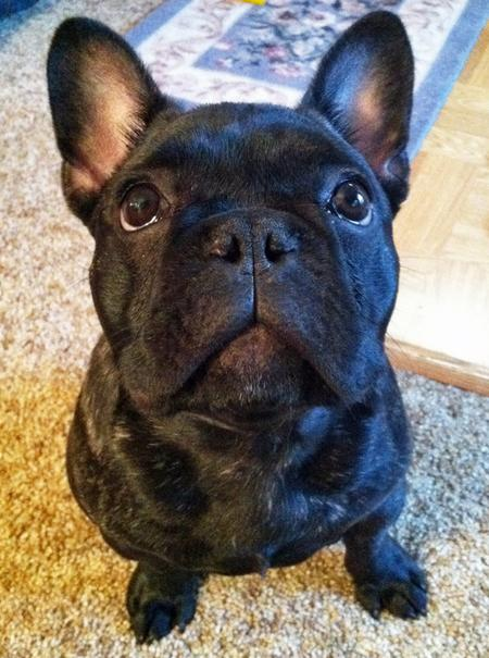 Gary the French Bulldog Pictures 865573