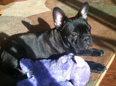 Gary the French Bulldog Pictures 865575