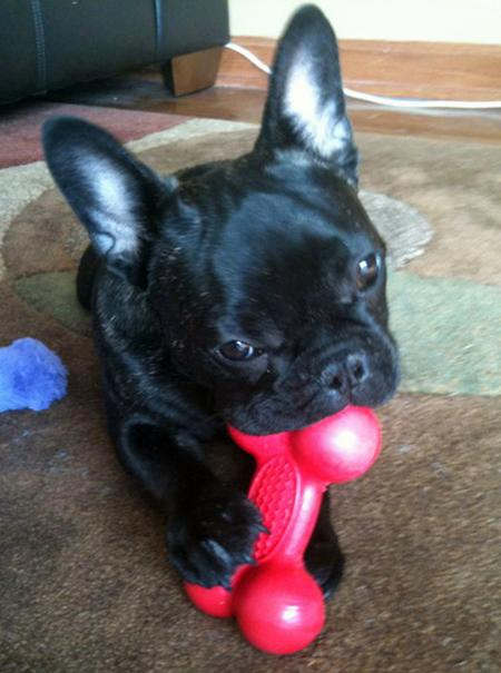 Gary the French Bulldog Pictures 865576