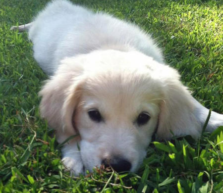 Gatsby the Golden Retriever Pictures 844355