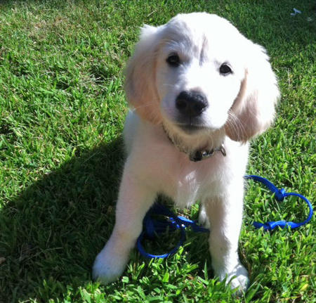 Gatsby the Golden Retriever Pictures 844356