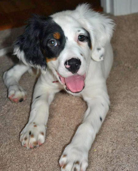 Gemma the English Setter Pictures 944319