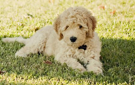 George the Australian Labradoodle Pictures 934174