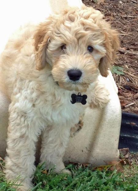 George the Australian Labradoodle Pictures 934176
