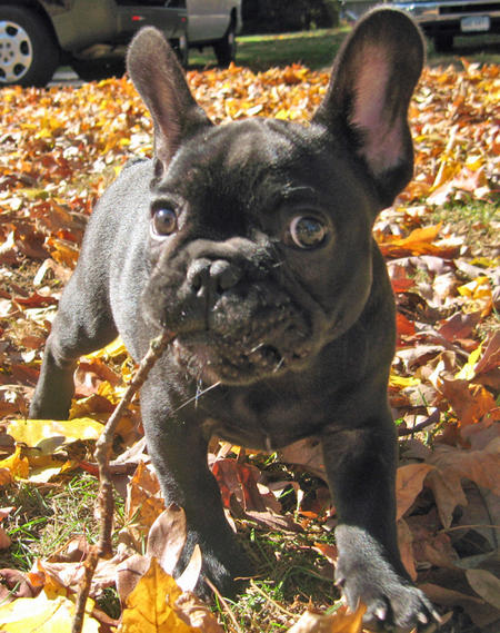 George the French Bulldog Pictures 884406
