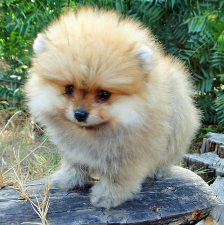 George the Pomeranian  Pictures 1058635