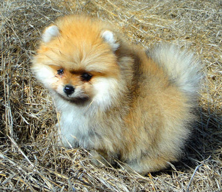 George the Pomeranian  Pictures 1058636