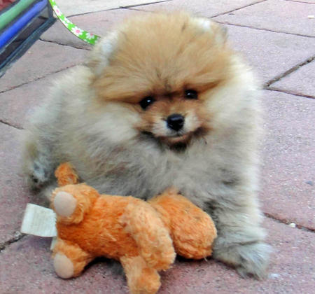 George the Pomeranian  Pictures 1058638