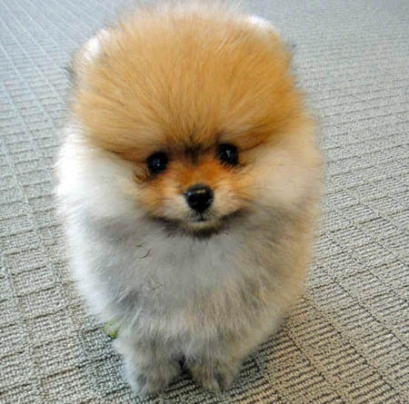 George the Pomeranian  Pictures 1058641