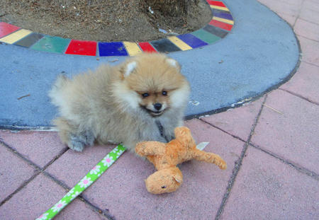 George the Pomeranian  Pictures 1058642
