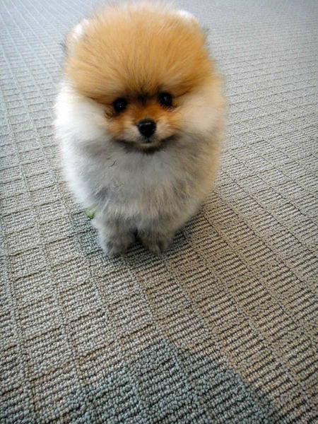 George the Pomeranian  Pictures 1058643