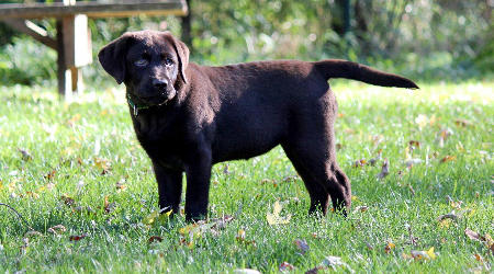 Gertie the Labrador Retriever Pictures 683163
