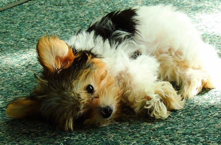 Gertie the Yorkie Mix Pictures 990467