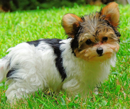Yorkie And Bulldog Mix Gertie the yorkie mix puppies daily puppy