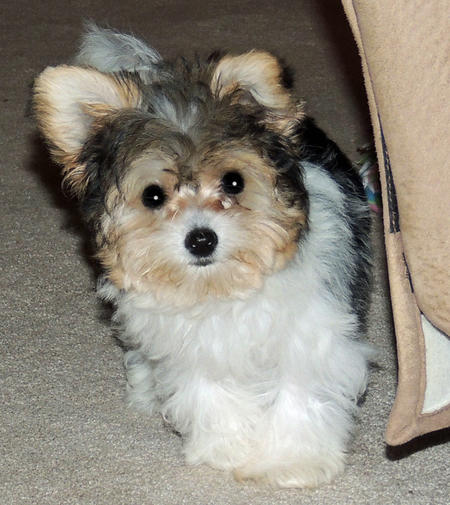 Yorkie and bichon mix