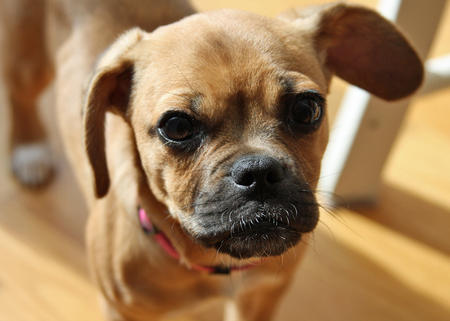 Gia the Puggle Pictures 543641