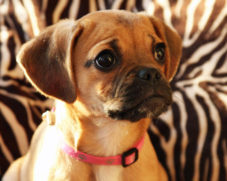 Gia the Puggle Pictures 543645
