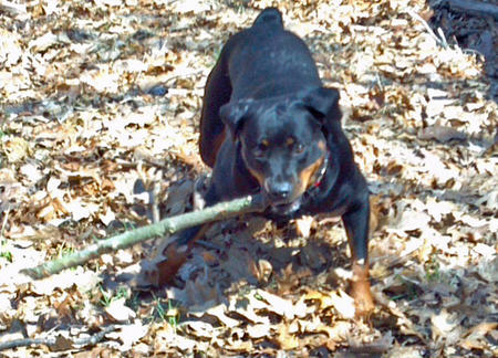 Gia the Rottweiler Pictures 931603