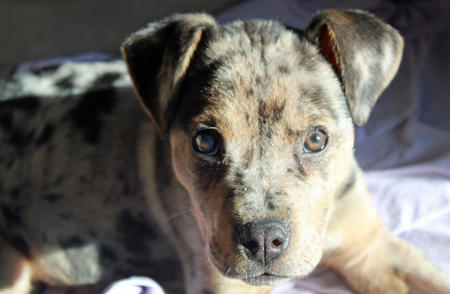 Gibbs the Catahoula Leopard Dog Mix Pictures 905918