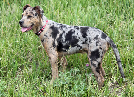 Gibbs the Catahoula Leopard Dog Mix Pictures 905919