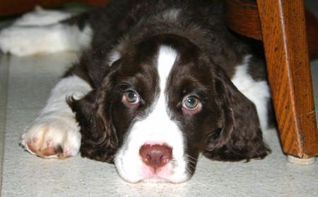 Gibson the English Springer Spaniel Pictures 659654