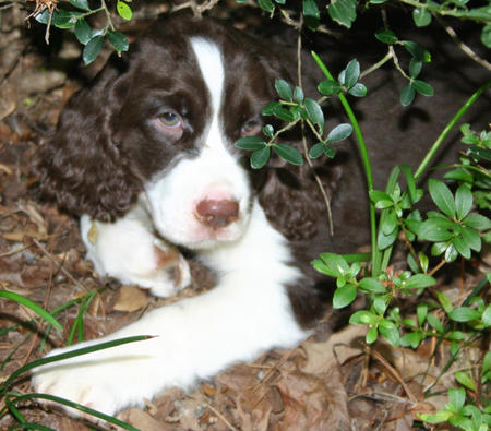 Gibson the English Springer Spaniel Pictures 659656