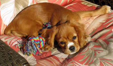 Ginger the Cocker Spaniel Mix Pictures 897736