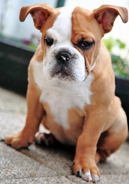 Ginger the English Bulldog Pictures 726350